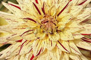 Dahlia 'Hy Pimento', Kaktus-Dahlie