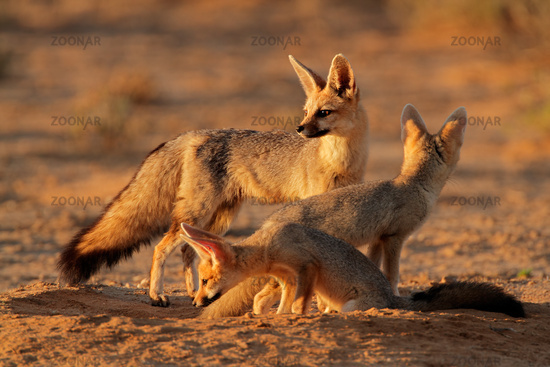 Cape fox family