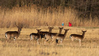 Fallow deer disturbed by a group of people on dry field in springtime.