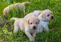 Labrador puppies in green grass
