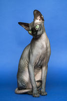 Hairless Canadian Sphynx - breed of cat known for its lack of fur