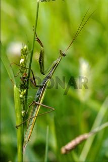 wild side praying mantis on a green brown branch