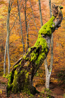 Rotten tree in autumn forest with moss and little mashrooms