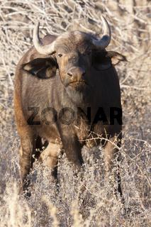 Afrikanische Büffel (Syncerus caffer)