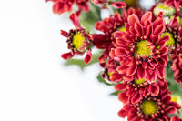 African daisies isolated on white