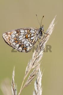 Wachtelweizen-Scheckenfalter, Heath Fritillary, (Melitaea athalia)