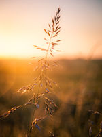 Grass on a spring meadow in golden sunrise light