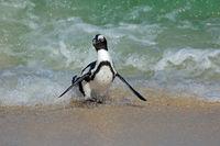 An endangered African penguin (Spheniscus demersus) running on beach