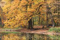 Eiche im Herbstlaub