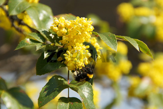 Mahonia aquifolium, Mahonie, Oregon-grape, mit Hummel
