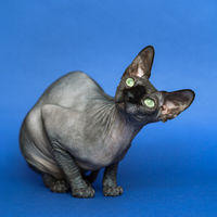 Hairless Canadian Sphynx cat. Portrait of female cat on blue background