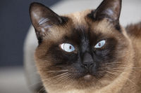 The muzzle of a Siamese fluffy cat with blue eyes.