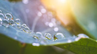 Environment, freshness and nature concept: Macro of big waterdrops on green leaf after rain. Beautiful leaf texture.