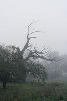 abgestorbenen Eiche im Herrenkrugpark bei Magdeburg in Deutschland im Nebel