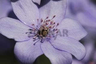 Leberbluemchen Einzelbluete
