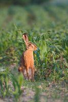 European brown hare, Lepus europaeus.