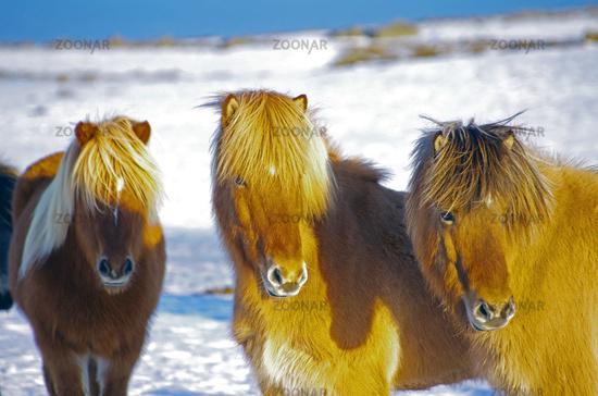 Wahre Isländer