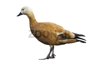 Ruddy sheldduck isolated over white background
