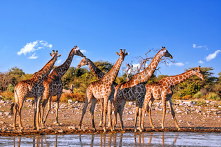 Giraffen, Etosha-Nationalpark, Namibia | giraffes, Etosha National Park, Namibia