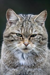 Kopf einer Wildkatze