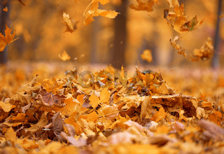 golden dry maple leaves circling in the air above the ground. Autumn landscape in the park