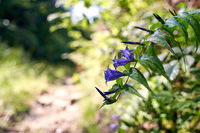 Beautiful giant bellflower with blue flowers growing on teh side of a forest road in Carpathian mountains
