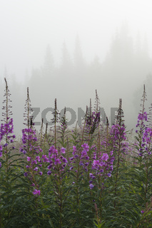 Pflanzen von schmalblaettrigem Weidenroeschen, Epilobium angustifolium, Chamerion angustifolium, (englisch: Fireweed, Great Willow-herb, Rosebay Willowherb), Dundret, Naturreservat, Gaellivare, Lappland, Schweden