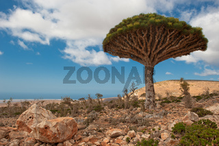 Dragon trees at Dixam plateau, Socotra, Yemen