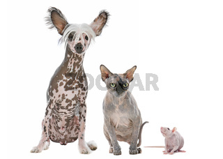 Naked Dog,Cat and Rat
