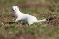 stoat (Mustela erminea),short-tailed weasel  Germany