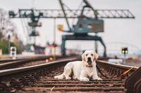 Portrait of a dog on railroad tracks. Labrador Retriever.