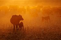 Free-range cattle