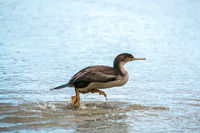 Spotted Shag (Phalacrocorax punctatus) running in shallow water