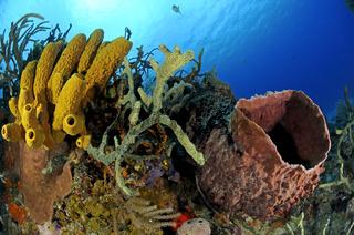 Aplysina fistularis und Xestospongia muta, Karibisches Kroallenriff, gelber Roehrenschwamm, Tonnenschwamm
