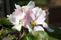 Apple tree, Malus domestica