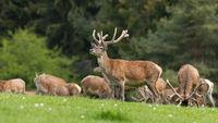 Herd of red deer with velvet antlers pasturing on meadow