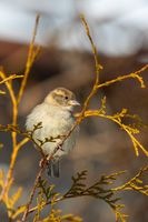 beautiful small bird house sparrow in winter