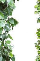 Blätterranken als Rahmen