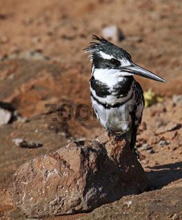 Graufischer, Eisvogel, am Ufer des Chobe, Botswana; Ceryle rudis; pied kingfisher, Botsuana