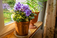 Violet flowers in a pot on the window sill