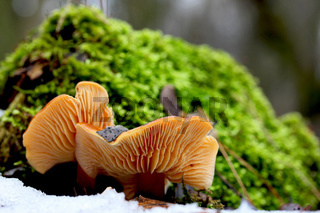 Pilz im Schnee