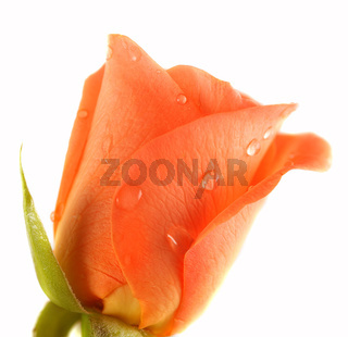 Pink Rose with dops of dew