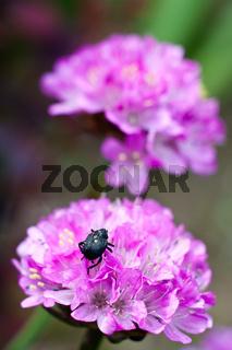 rote Blume mit schwarzem Käfer