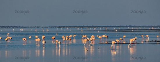 Camargue flamingo