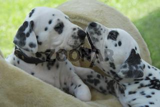 Zwei Dalmatiner Welpen, vier Wochen alt