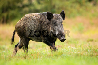 Adult female of wild boar running alone on the forest clearing
