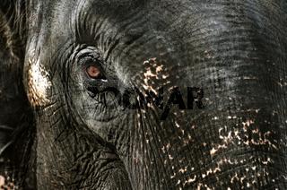 Elephant's tear