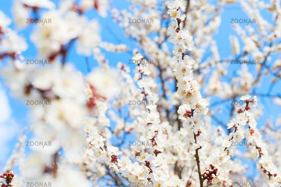 White tree spring blossom flowers