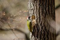 Green woodpecker Picus viridis male bird by the nesting cavity in an aspen tree