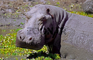 Mürrisches Hippo im South Luangwa Nationalpark, Zambia; angry Hippo at South Luangwa, Zambia